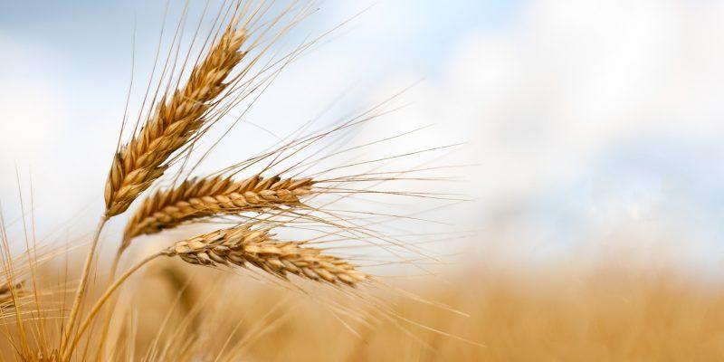 photodune 598931 close up of ripe wheat ears m