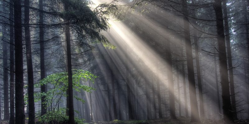 forrest in the fog and light